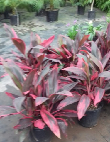 Beautiful Red Dragon Plants For Sale