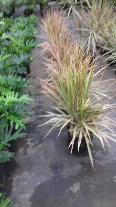 Beautiful Colurama Plants For Sale