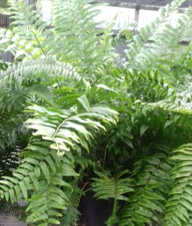 Beautiful Ferns For Sale