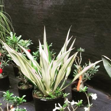 Beautiful Furcrea Plants For Sale