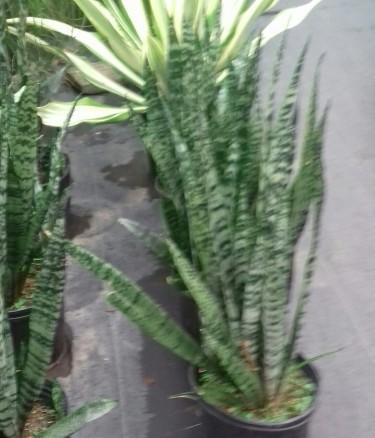 Beautiful Snsiveiera Plants For Sale