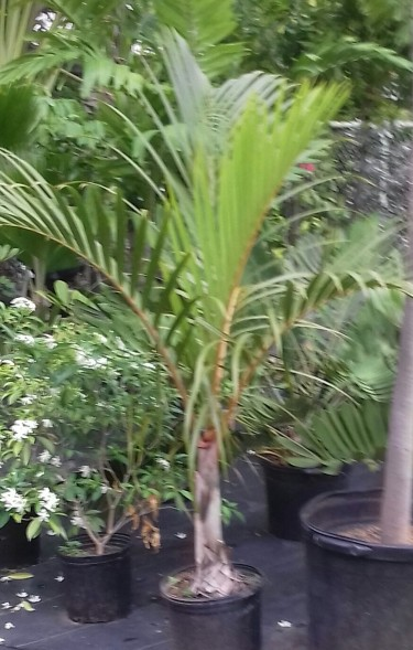 Beautiful Swindle Palm For Sale