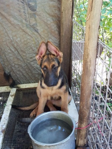 Two German Shepherd Female 3th Mouths