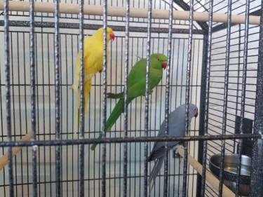 Blue & Gold Macaw/Indian Ringneck Parrots