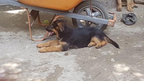 Male German Shepard Pups
