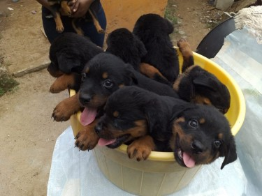 Purebred ROTTWEILER Pupies With All Documentation