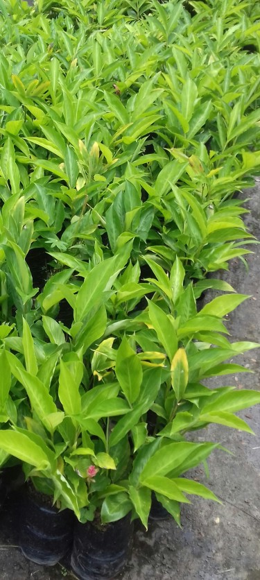Beautiful Ginger Lilies For Sale