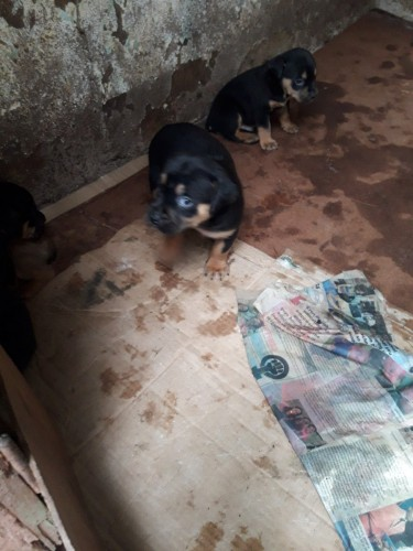 Rattweiler Mix Puppies For Sale Now