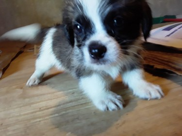 Shih Tzu Puppies Available For Sale!