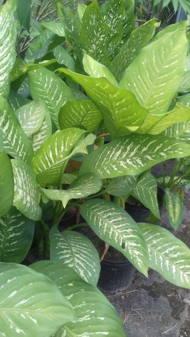 Beautiful Diffenbachia Plants For Sale