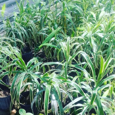Beautiful Variegated Dracena Plants For Sale