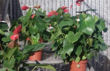 Beautiful Anthuriums For Sale
