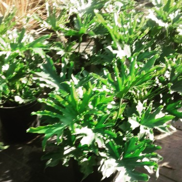 Beautiful Philodendron Licketysplit Plants For Sal