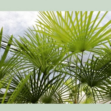 Beautiful Lady Finger Palms For Sale