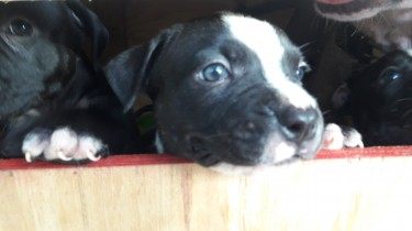 Bully Pit Puppies