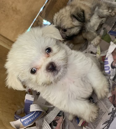 Male Shih Tzu Poodle Mix Puppies