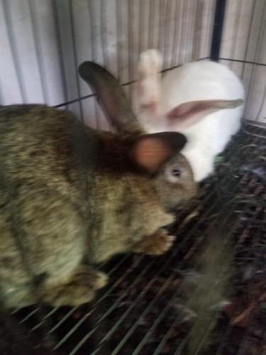 2 Female Adult Flemish Giant Mix Rabbits