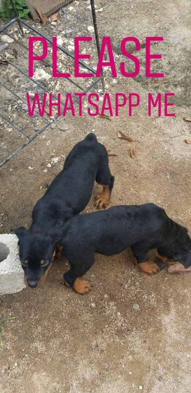2 MALE PUREBRED ROTTWEILER PUPIES
