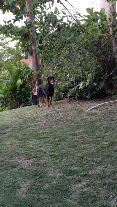 European Dobermann For Sale  Dogs Ocho Rios