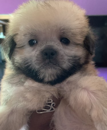 Male Shih Tzu Poodle Mix