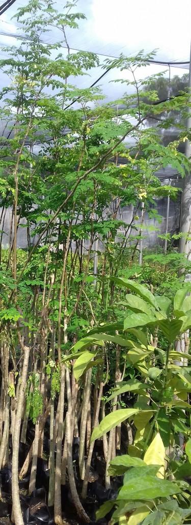 Beautiful Morinda Trees For Sale