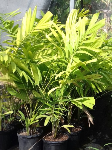 Beautiful Solitaire Palms For Sale