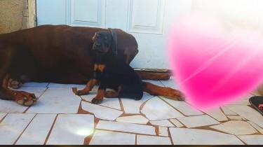 Doberman Pups Tall Big Boned