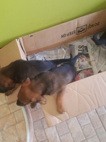 Rottweiler/mastiff  Mix
