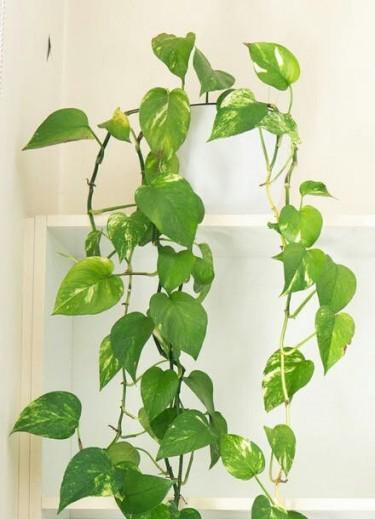 Beautiful Golden Pathos(Creeper) Plants For