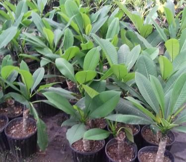 Beautiful Frangi Pani Plants For Sale