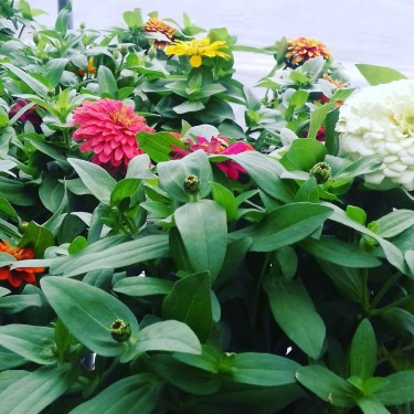 Beautiful Zinnia Plants For Sale