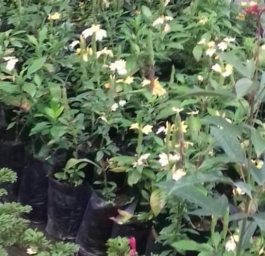 Beautiful Cassandra Plants For Sale