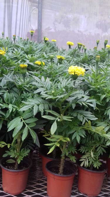 Beautiful Marigold Plants For Sale