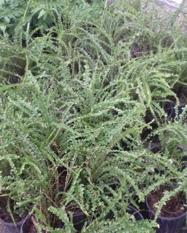 Beautiful Button Ferns For Sale