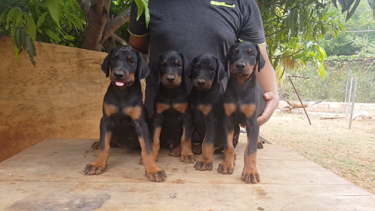 Large Boned Doberman Pups