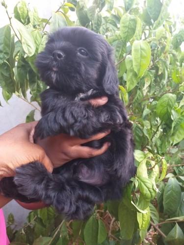 Shih-tzu Poodle Pups