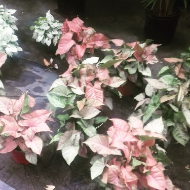Beautiful Singonium Plants For Sale