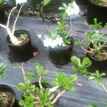 Beautiful Desert Rose Plants For Sale