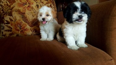 Shih Tzu Mix Pups