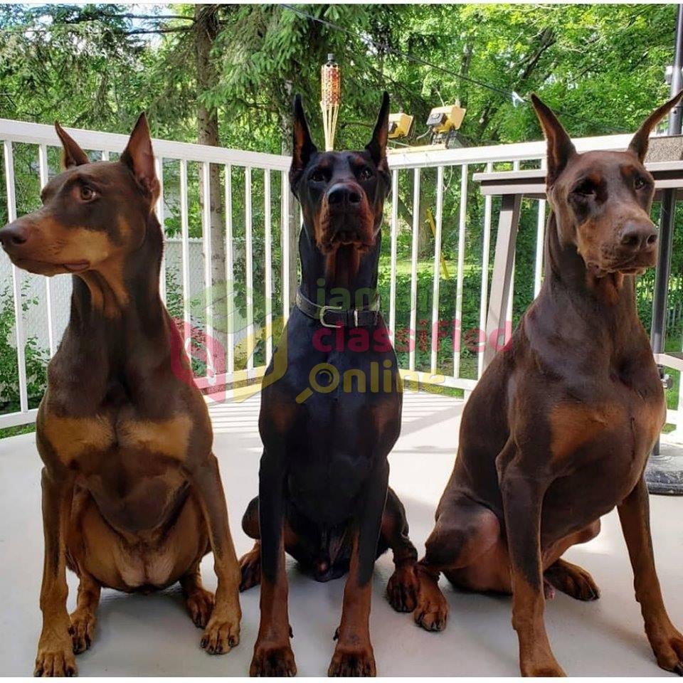 Buy Doberman Puppies For Sale In Denmark