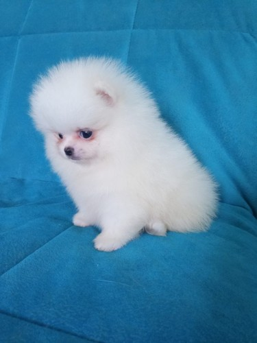 Good Looking Pomeranian Puppies For Adoption