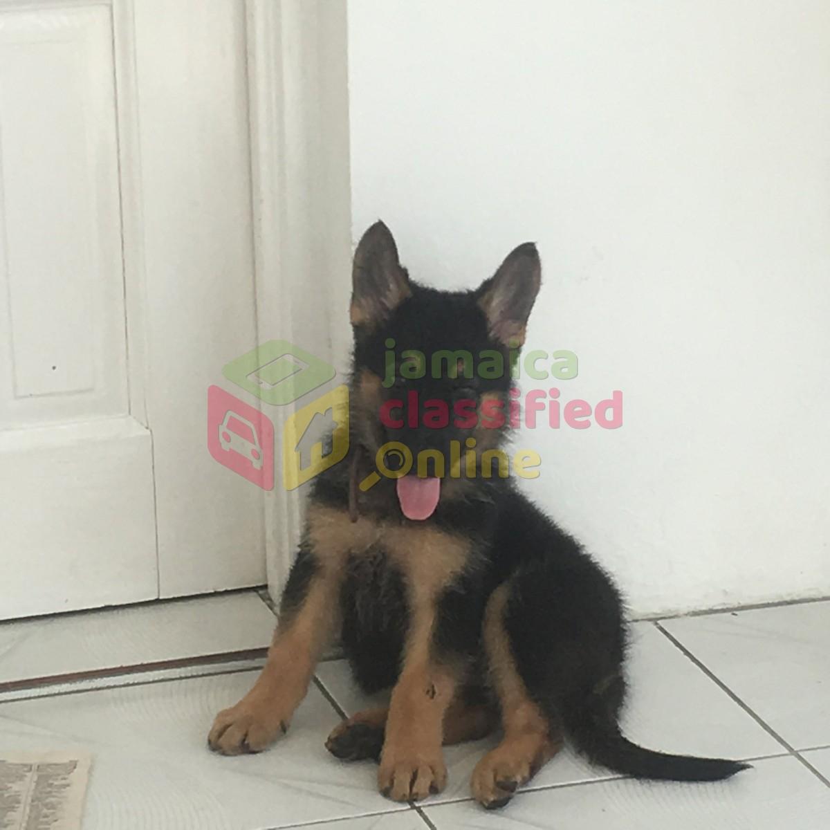 German Shepherd Puppy for sale in Oracabessa St Mary - Dogs