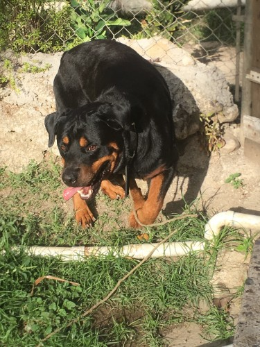 Mature Rottweiler Available For Studding