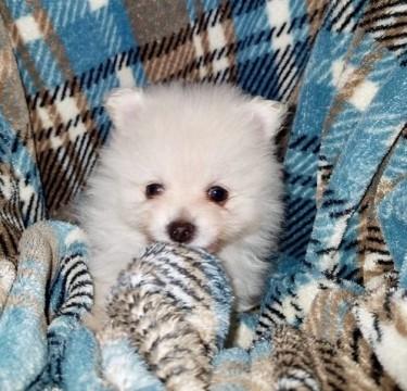 Outstanding AKC Pomeraniane Puppies