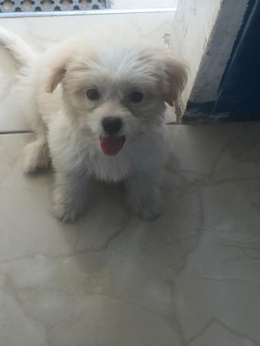 Shi-poo Puppy