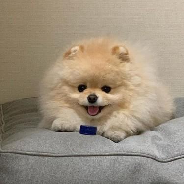 Beautiful, Sweet And Lovable Purebred Pomeranian