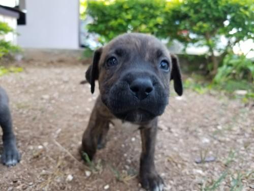 Pitbull Puppy's
