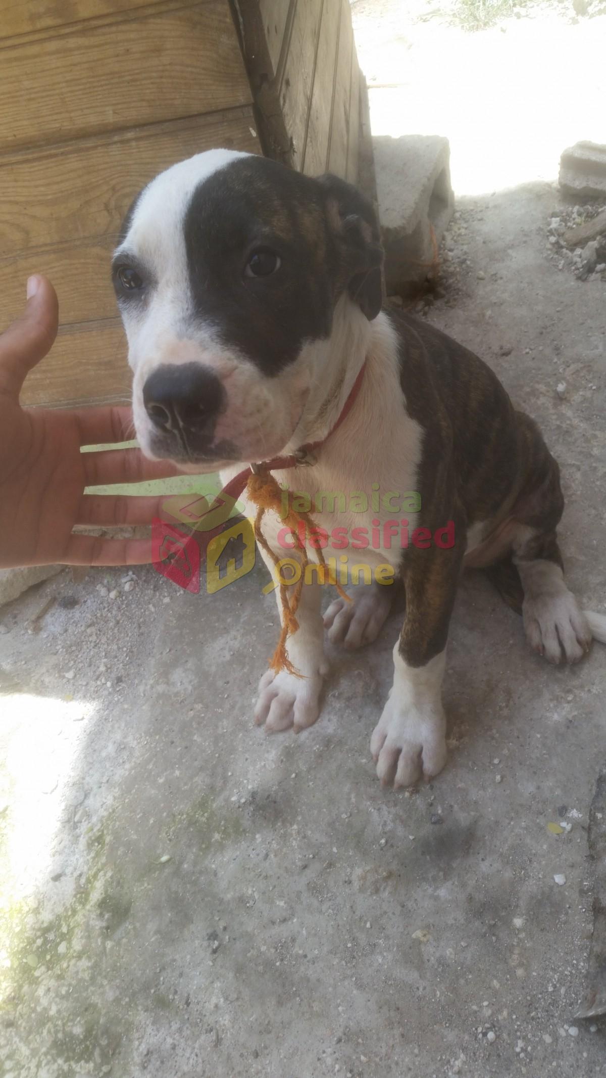 Pitbull Mastiff Mix For Sale In Cousins Cove Hanover Dogs