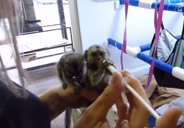 We Have Marmoset Monkeys Ready For Sale