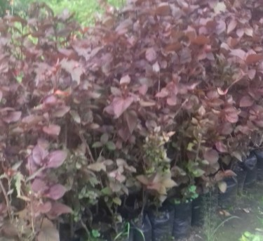 Oh So Beautiful Alcalypha Plants For Sale